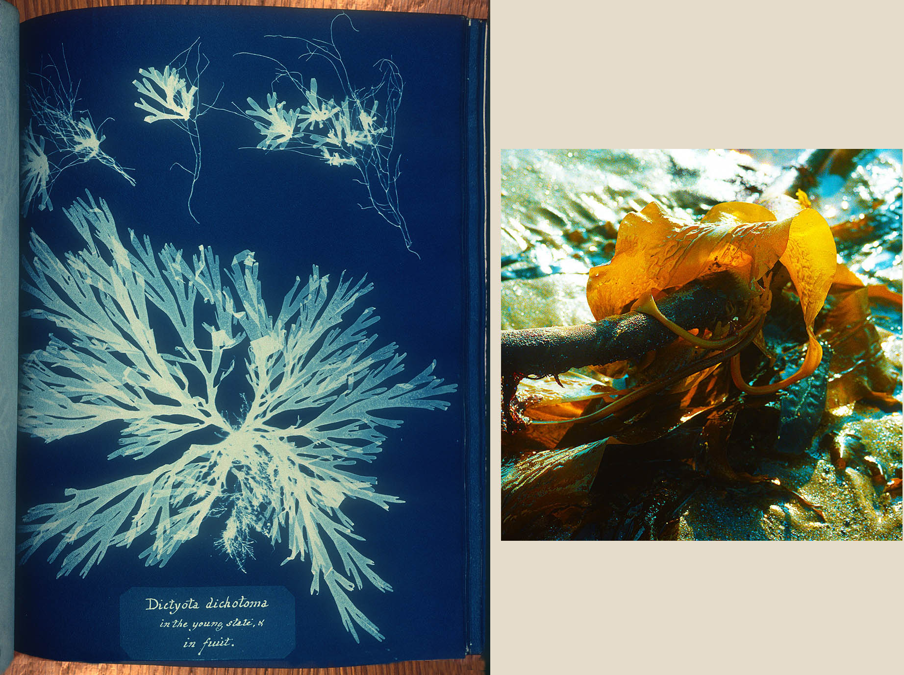 DictyotaDichotoma-LinnSoc_backlit-algae